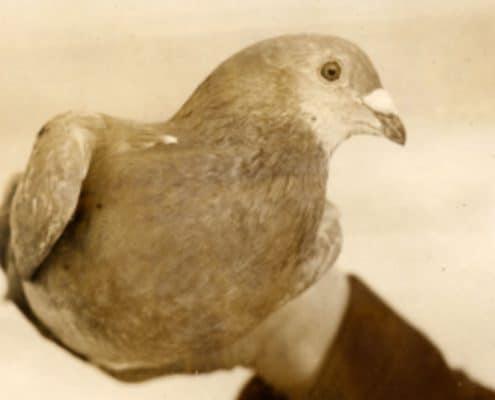 pigeons-une