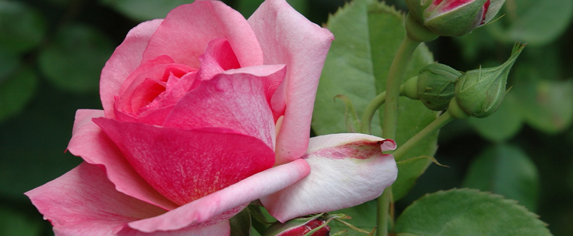 Slider_rose